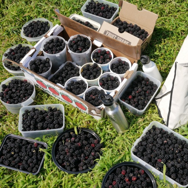 Picking Blackberries in New Jersey